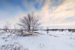 Luz congelada invierno de la mañana de maderas de abedul Fotos de archivo libres de regalías