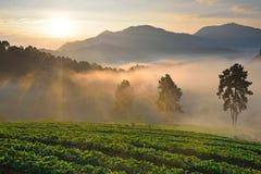 Luz da manhã em um campo da morango Fotografia de Stock