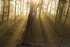 Luz da manhã na floresta Imagens de Stock Royalty Free