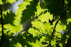 Luz Dappled através das folhas do carvalho Fotografia de Stock Royalty Free