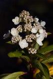 Luz de calcio de Paniculata de la hortensia Fotos de archivo
