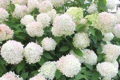 Luz de calcio poner crema de la hortensia de las flores blancas, Países Bajos Imagen de archivo libre de regalías