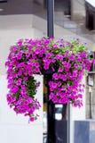 Luz de calle con las cestas coloridas de la flor de la petunia de la ejecución Fotografía de archivo