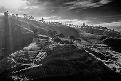 Luz de la mañana de la colina del té Imagen de archivo libre de regalías
