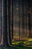 Luz de la mañana en bosque imagenes de archivo