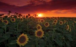 Luz de la puesta del sol y campo calientes del girasol fotos de archivo libres de regalías