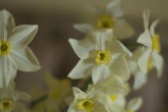 Luz de la sombra de la forma de vida de la postal de la primavera de la mañana de los narcisos fotografía de archivo libre de regalías