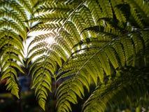 Luz de Sun através da samambaia Chain Foto de Stock Royalty Free