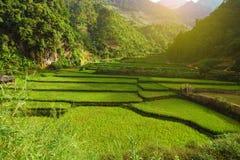 Luz de Sun en campo colgante verde del arroz Foto de archivo libre de regalías