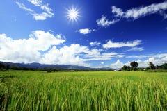 Luz de Sun sobre granja verde del arroz Fotografía de archivo