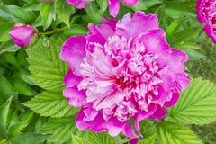 Luz del peony del color de rosa del verano Foto de archivo