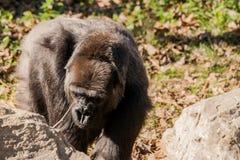 Luz del sol brillante de Gorillain Foto de archivo libre de regalías