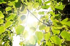 Luz del sol brillante a través de las hojas del abedul Fotografía de archivo