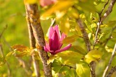 Luz del sol de la flor del rosa del árbol de la magnolia Imagenes de archivo