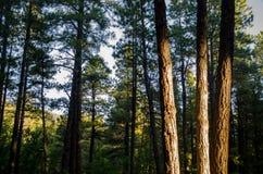 Luz del sol de la mañana en el bosque Imagen de archivo