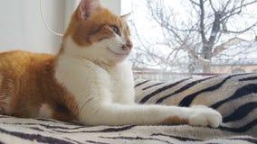 Luz del sol de la mañana en el gato rojo relajado metrajes
