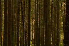 Luz del sol de la mañana en un bosque spruce denso seco foto de archivo libre de regalías