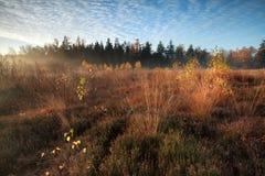 Luz del sol de la mañana sobre pantano con los árboles de abedul anaranjados del otoño Imágenes de archivo libres de regalías