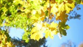 Luz del sol de las hojas de otoño almacen de video