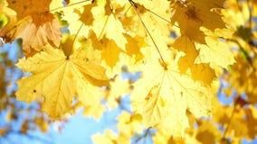 Luz del sol de las hojas de otoño almacen de metraje de vídeo
