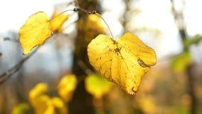 Luz del sol de las hojas de otoño metrajes