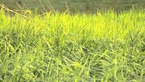 Luz del sol de oro de la plantación del campo del arroz almacen de video