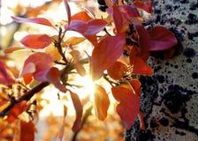 Luz del sol del abedul rojo Fotos de archivo