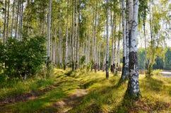 Luz del sol del bosque del abedul Fotos de archivo