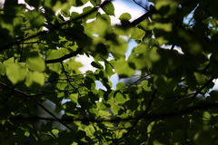 Luz del sol del contraluz del fondo del árbol de la hoja Imagenes de archivo