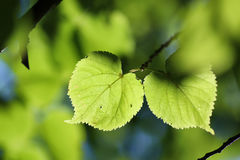 Luz del sol del contraluz del fondo del árbol de la hoja Fotos de archivo