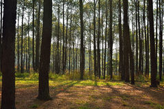 Luz del sol del pino la parte posterior Foto de archivo libre de regalías