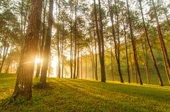 Luz del sol en árbol de pino Foto de archivo