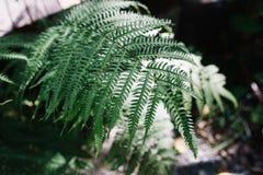 Luz del sol en cierre encima de las hojas del helecho en bosque fotografía de archivo libre de regalías