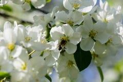 Luz del sol en rama con el appleblossom en appletree en primavera en el backround verde con la abeja Foto de archivo libre de regalías
