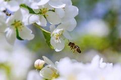 Luz del sol en rama con el appleblossom en appletree en primavera en el backround verde con la abeja Imagenes de archivo