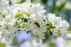 Luz del sol en rama con el appleblossom en appletree en primavera en el backround verde con la abeja Fotografía de archivo libre de regalías