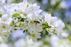 Luz del sol en rama con el appleblossom en appletree en primavera en el backround verde con la abeja Imágenes de archivo libres de regalías