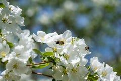 Luz del sol en rama con el appleblossom en appletree en primavera en el backround verde con la abeja Foto de archivo