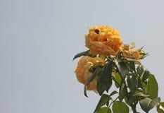 LUZ DEL SOL EN ROSAS AMARILLAS BRILLANTES Imagen de archivo