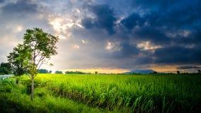 Luz del sol hermosa de la granja de la caña de azúcar del paisaje imagenes de archivo