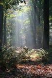 Luz del sol misteriosa en un bosque holandés Fotografía de archivo libre de regalías