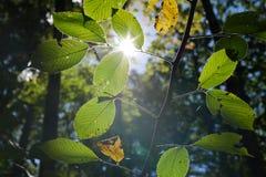 Luz del sol que brilla intensamente a través de las hojas en bosque foto de archivo