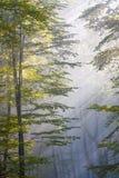Luz del sol que brilla a través de bosque de la haya Imagenes de archivo