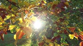 Luz del sol que brilla a través de las hojas de otoño en un árbol almacen de video