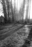 Luz del sol que filtra a través de árboles de abedul Fotos de archivo