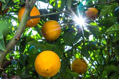 Luz del sol que pasa a través de un árbol de limón fotografía de archivo