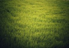 Luz del sol que refleja en cosecha del arroz fotos de archivo