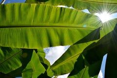 Luz del sol retroiluminada y cielo de la hoja verde del plátano Imagen de archivo