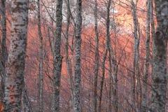 Luz del sol roja en árboles de abedul Imagen de archivo libre de regalías