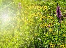 Luz del sol sobre un campo de las margaritas de Dahlberg foto de archivo